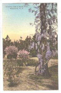Wisteria and A Judas Tree, Pinehurst, North Carolina, 1900-1910s
