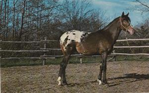 APPALOOSA HORSE POSTCARD Brand New Never Used