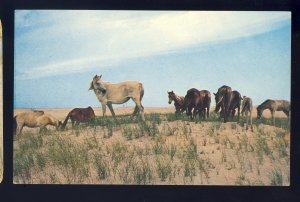 Assateague Island, Virginia/VA Postcard, Chincoteague Ponies