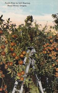 Oregon Hood River Apple Tree Bearing Fruit