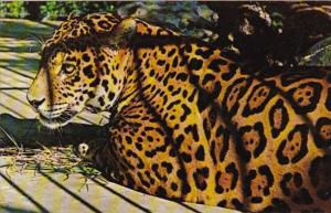 Florida Naples Caribbean Gardens Pepe The South American Jaguar