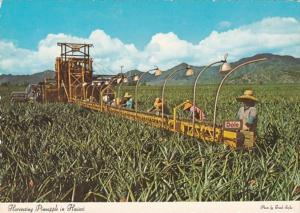 Hawaii Harvesting Pineapples