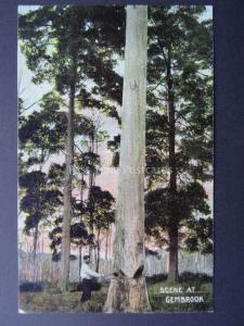 Australia Victoria GEMBROOK TREE FELLING c1904 Postcard