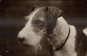 Wire Haired Fox Terrier Dog c1920 Real Photo Postcard