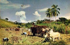 Jamaica Reaping Sugar Cane