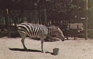 BLOOMINGDALE , Indiana , 50-60s ; Zebra at Gobblers Knobb Zoo Farm
