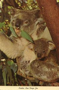 Koala and Baby at San Diego Zoo