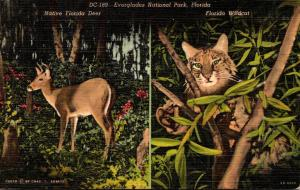 Florida Everglades National Park Native Florida Deer & Wildcat 1950 Curteich