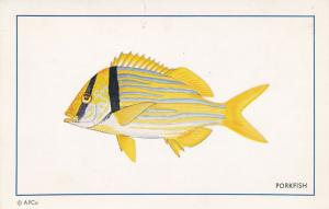 Porkfish - Member of Grunt Family - An authentic Florida Fish