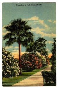 FL - Oleanders in Full Bloom