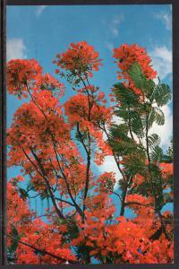 Royal Poinciana Tree in Full Bloom BIN