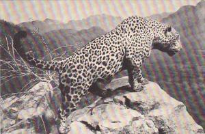 Jaguar American Museum Of Natural History New York City