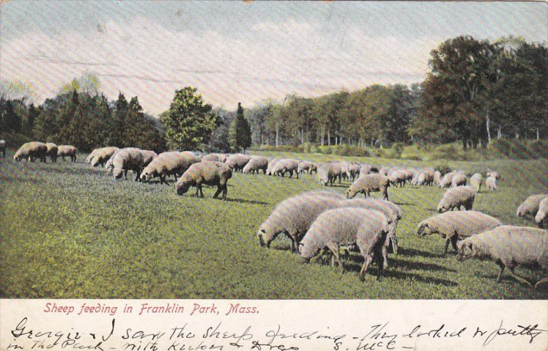 Sheep Feeding In FRANKLIN PARK, Massachusetts, 1900-1910s