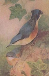 Nuthatch Sitta Coesia Bird Rare Postcard