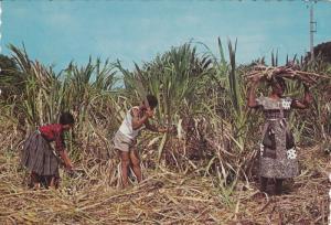 Natives cutting sugar cane , ILE DE LA MARTINIQUE , F.W.I , 50-70s