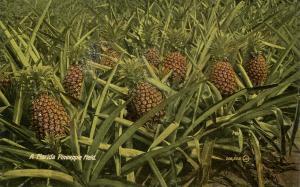 FL - A Pineapple Field