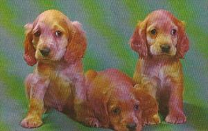 Dogs Cocker Spaniel Puppies Not Us