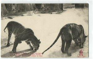 CPA AK VIETNAM Tonkin Tigres du Massif Montagneux (50376)