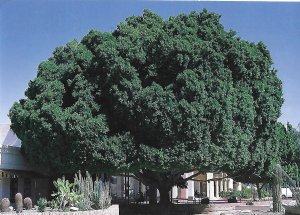 Ficus Tree Member of Fig Family Planted in 1969 Yuma Arizona 4 by 6