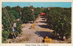 Florida Orange Grove Orange Picking Time In Florida 1966