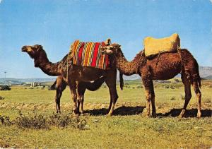 BR71949 xauen camel chamel   animal animaux morocco