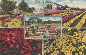 MUMS by Paschke, Near ERIE , Pennsylvania , 30-40s