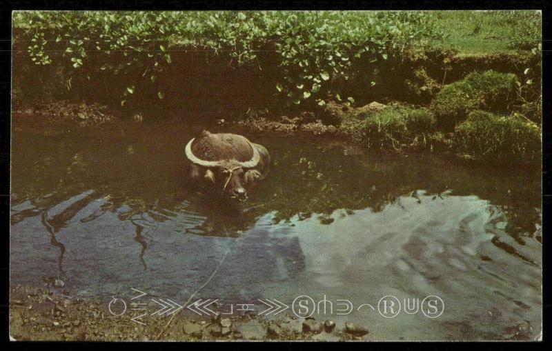 The Water Buffalo or Carabao