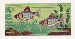 Amalgamated Tobacco Vintage Cigarette Card 1961 No 3 Barbus Ticto