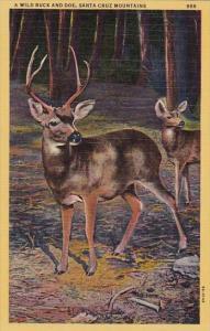 California Santa Cruz Mountains A Wild Buck And Doe