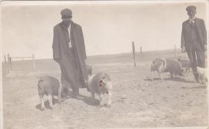 RP: Pig Stock Ranch , BOW ISLAND , Alberta , Canada , 00-10s B.L. Jamieson Ph...