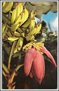 Hawaii Banana Tree & Blossom - [HI-015]