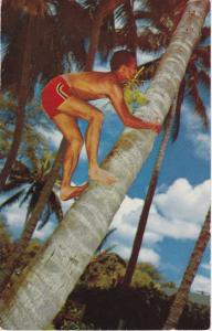 Coconut Palm Tree Climbing HI, Hawaii