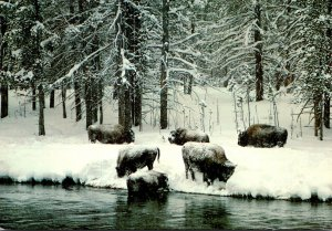Yellowstone National Park Bison Herd In Winter