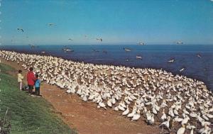 Bird Sancturary on Bonaventure Island,  Perce,  Quebec,  Canada,  40-60s