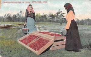 Cape Code Massachusetts Placing Cranberries in Trays Antique Postcard J51344