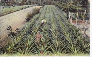 Cuba Isle Of Pines Pineapple Field McKinley