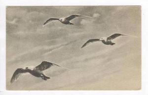 Three Birds, Boothbay Harbor, Maine, 1900-10s