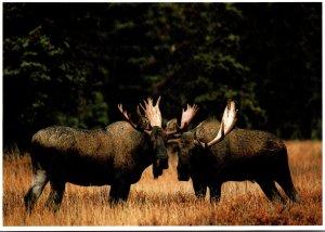 North American Moose