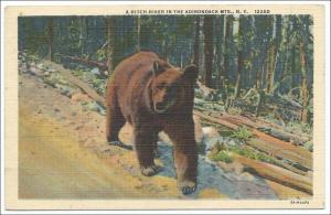 Bear, Adirondack Mts