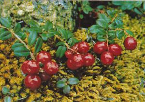 Lowbush Cranberries Or Kingmingnaq Northwest Territories Canada