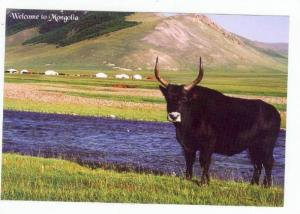 Mongolia,Asia,80-90s,This     Bull In The Foreground Is A Cross Breed Between...