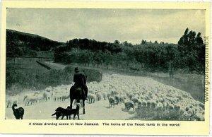 VINTAGE POSTCARD NEW ZELAND: SHEEP  LAMBS WOOL - ETHNIC