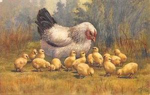 Chicken Post Card Mom and Chicks Unused