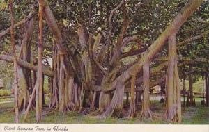Florida Giant Banyan Tree In Tropical Florida
