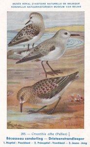 Sanderling Calidris Crocethia Alba Bird Antique Rare Postcard