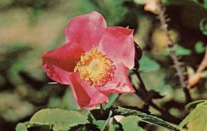 Wild Rose - Alaska
