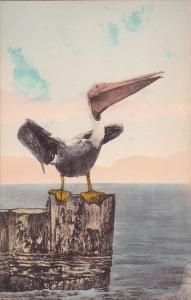 Florida The Pelican Handcolored Albertype