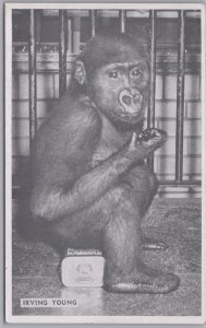 Chicago, Ill., Lincoln Park Zoo Irving Young the Young Gorilla - 1952