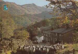 Driving Sheep Seatoiler Borrowdale Cumbria Postcard
