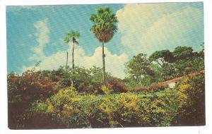 Vegetation Tropicale, Guadeloupe Antilles Francaises,  40-60s